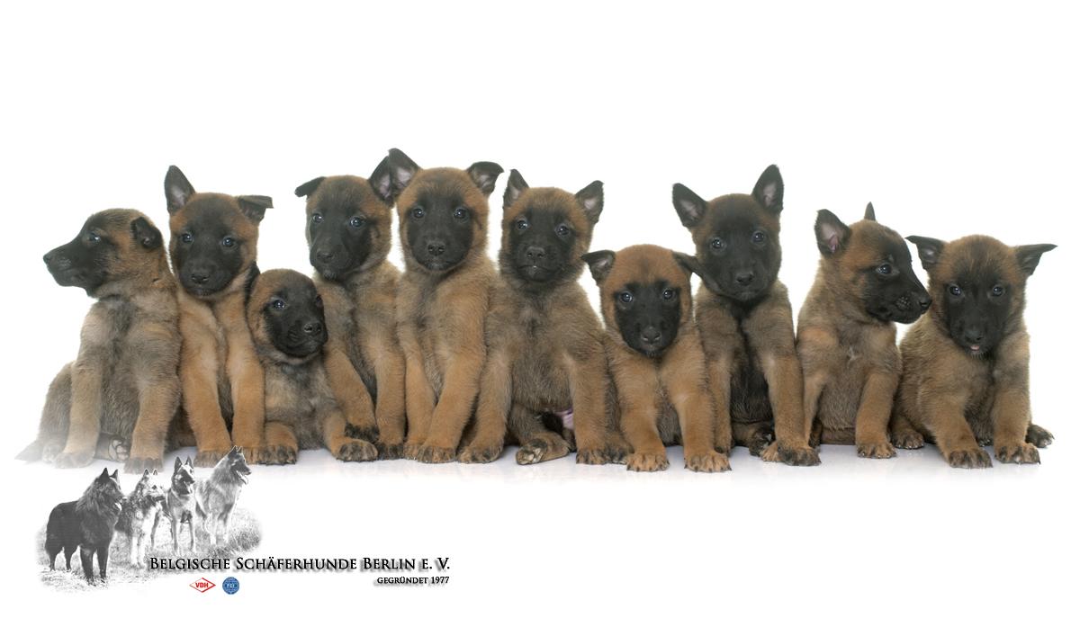 Belgische Schaferhunde Berlin E V Belgische Schaferhunde Berlin E V