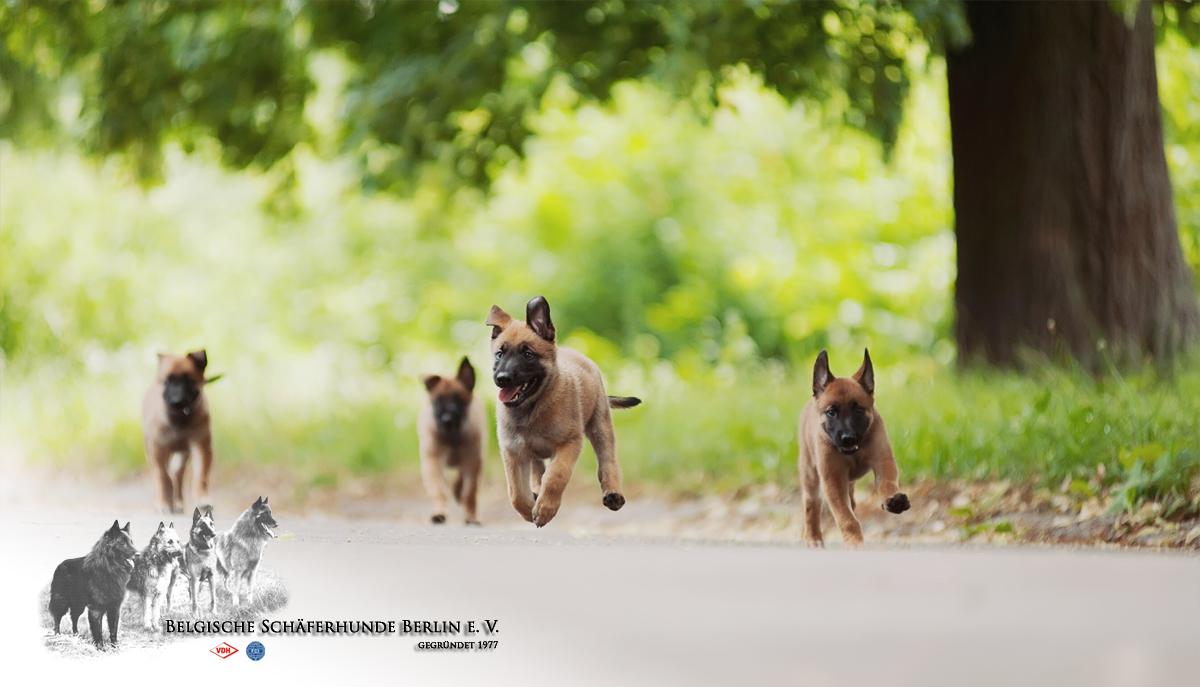 Laekenois Zuchter Im Bsb E V Belgische Schaferhunde Berlin E V